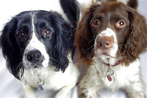 spaniel puppies rescue springer spaniel adoption new york breeds picture
