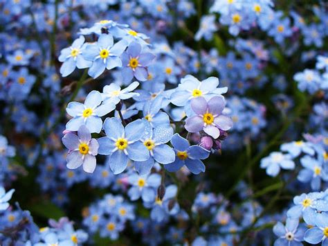 printable forget me not flowers forget me nots flowers by aleksandr volkov