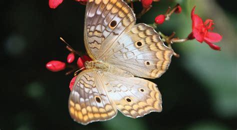 imagenes mariposas libres mariposario del jard 237 n bot 225 nico