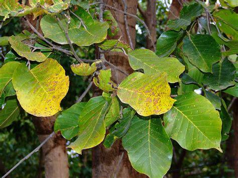 sals fruit tree sal tree shorea robusta information and uses bimbima