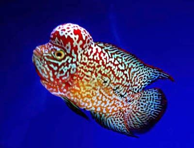 Pakan Ikan Louhan Yang Bagus journey of flowerhorn louhan pertanyaan seputar ikan louhan