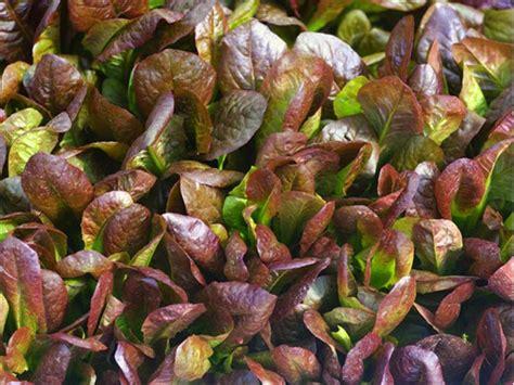 Lettuce 75 Benih lettuce romaine 75benih purie garden