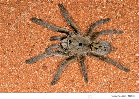 wildlife african baboon spider stock picture   featurepics