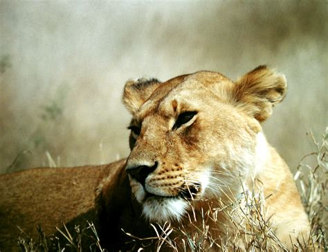 file lioness of the serengeti jpg wikimedia commons
