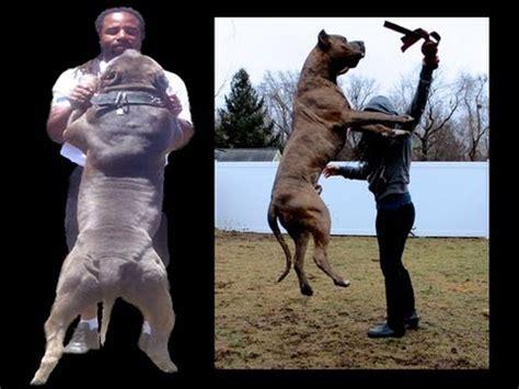 pitbull service amazing tricks funnydog tv