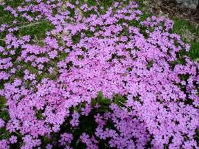 how to plant a creeping phlox garden guides