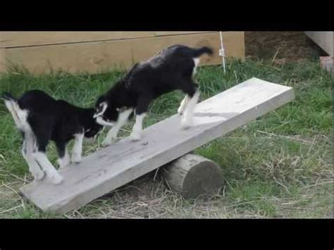 Baby Scots Platinum Mb 56 baby goats play on a seesaw