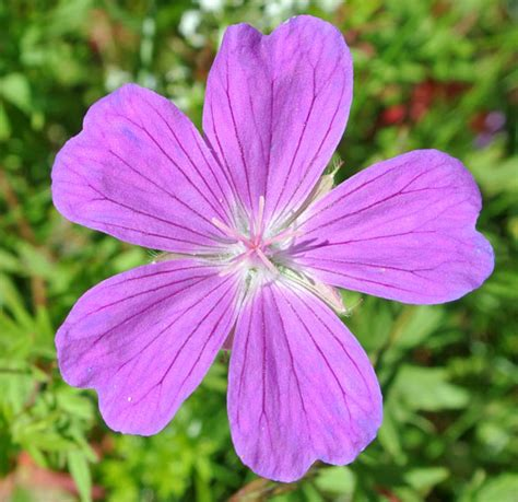 Esmonia Lopperio Flower image gallery estonia flower