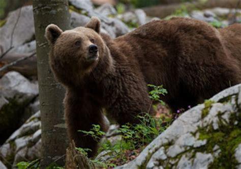 slovenian bears wildlife photography tours
