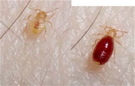 white bugs in bed traveler q a preventing bed bugs from hitchhiking to