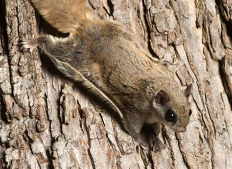 flying squirrels identification prevention  control