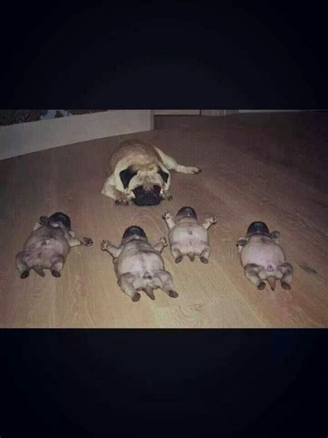 where can i buy a pug puppy best 25 pug ideas on pug puppies baby pugs and pugs