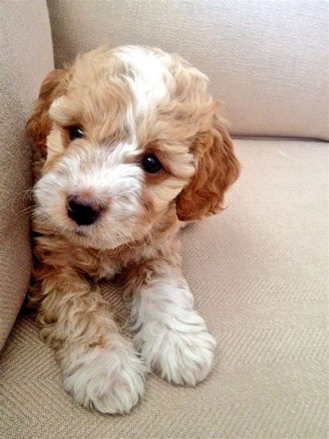 goldendoodle puppy growing up the 25 best goldendoodle miniature ideas on