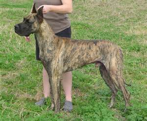 what color is brindle great dane breed 187 information pictures more