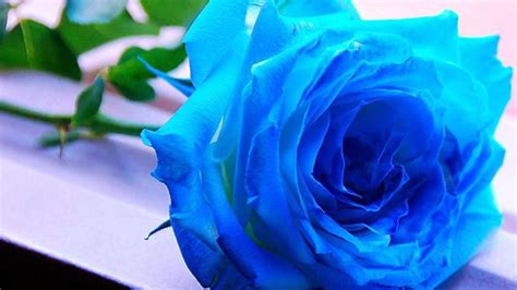 blue wallpaper pink roses rose wallpapers best wallpapers