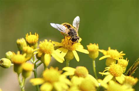 Yellow Bee file bee gathering pollen yellow flower macro jpg