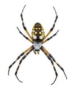 Garden Spider Pesticide Black Yellow Garden Spider Photos