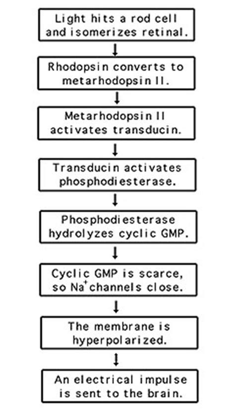 synaptic transmission flowchart synaptic transmission flowchart flowchart in word