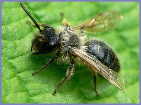 the alfalfa leaf cutter bee