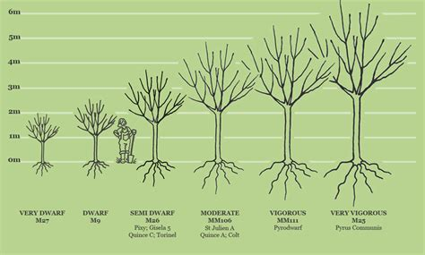 fruit tree spacing chart rootstocks fruit trees sizes and rootstocks apple