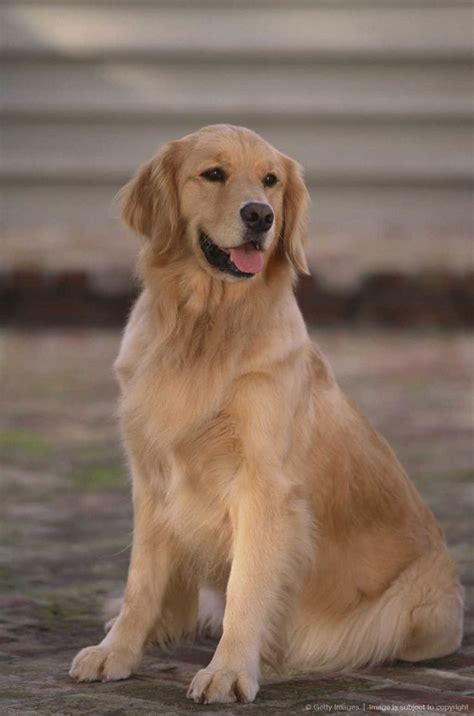 how much are golden retriever golden retriever dogs