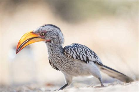 Video: The Flight Of The Hornbill ? Baby Bird Leaves The Nest