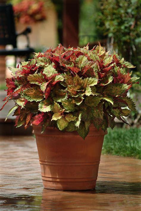 coleus indian summer  plants bargain garden
