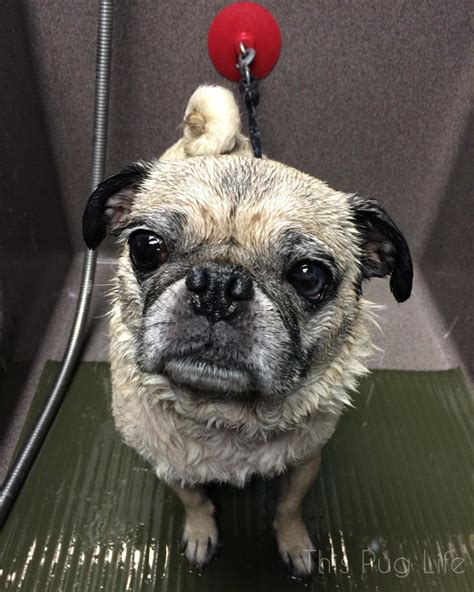 pug getting a bath pug gets a bath goes this pug