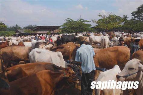 Bibit Sapi Jawa Barat peringan tata niaga sapi di jawa barat sapibagus