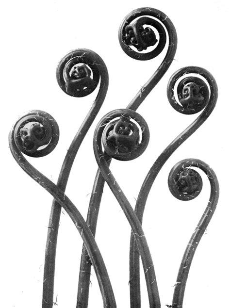 karl blossfeldt icons series the reel foto karl blossfeldt majestic plant portraits