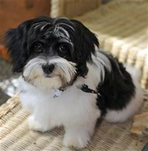 how to potty a havanese puppy the pup on coton de tulear havanese puppies and goldendoodle