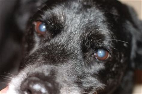 how much is cataract surgery for dogs why are my s eye s cloudy nuclear sclerosis vs cataracts