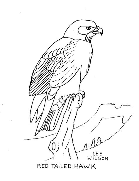 red tailed hawk coloring page