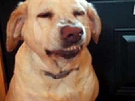 dogs denver bad denver s guilty grin