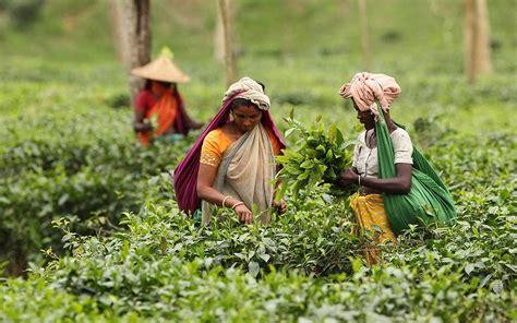 country    record tea output  dhaka tribune
