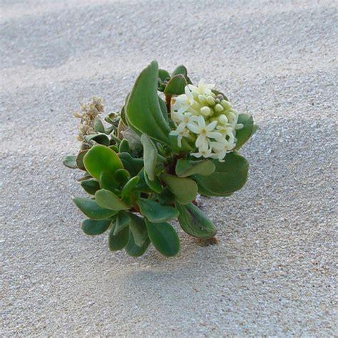 tiny plants tiny plants that grow in sand dunes south australia