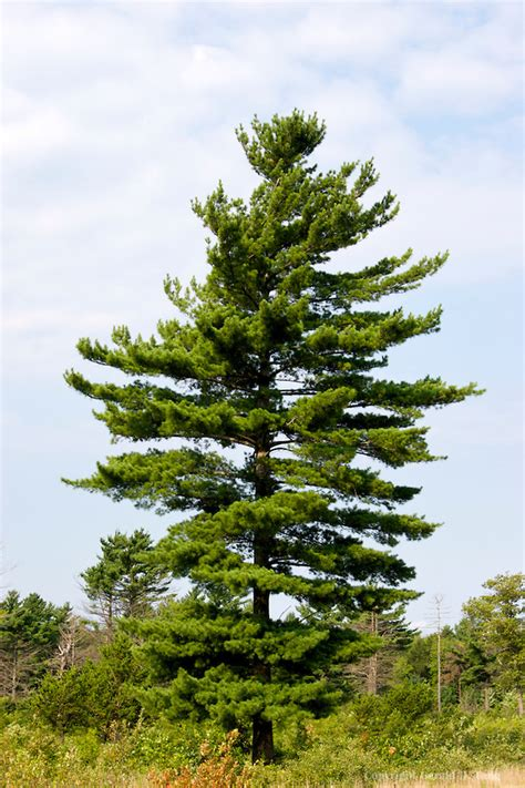 eastern white pine pinus strobus tree facts habitat pictures coniferous forest