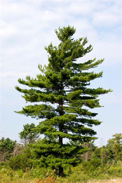 eastern white pine pinus strobus tree facts habitat