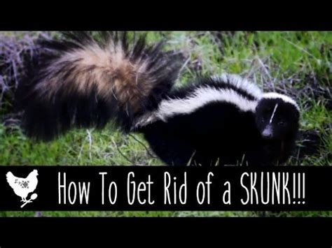 how to get rid of a skunk in your backyard how to get rid of a skunk cosmocornbread youtube