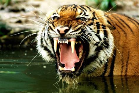 Wildlife Wall Mural fotomural tigre de bengala ears salvaje pixers es