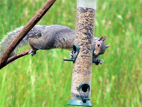 bird feeder battles winning the war against squirrels dig bird feeder battles cedar springs post newspaper