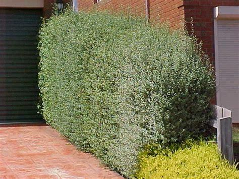 pittosporum silver sheen   plants garden