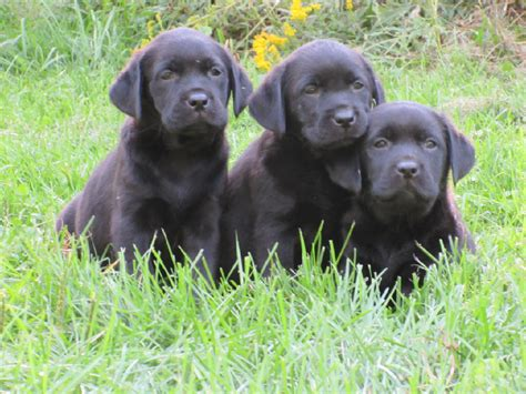 black lab puppies for sale in ny black labrador retriever puppies for sale pond labradors