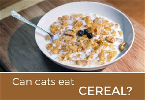 Cottage Cheese For Cats by Can Cats Eat Cheese Cattention