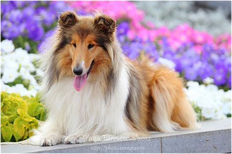 collie puppy pictures collie in flowers photo and wallpaper beautiful collie in flowers