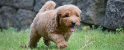 goldendoodle puppy advice a goldendoodle goldendoodle puppies goldendoodle photos