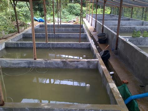 Bibit Ikan Koi Kendal cara budidaya pembesaran ikan lele di kolam tanah dan
