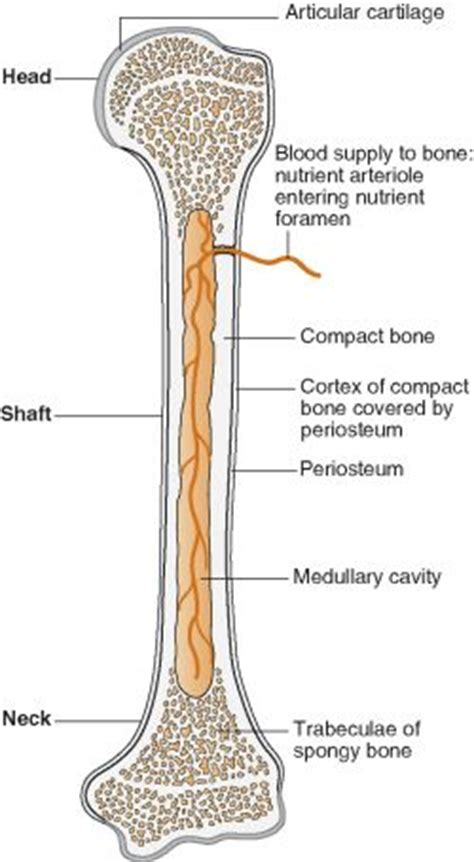 cross section of a long bone the structure of animal bones osteology skeleton
