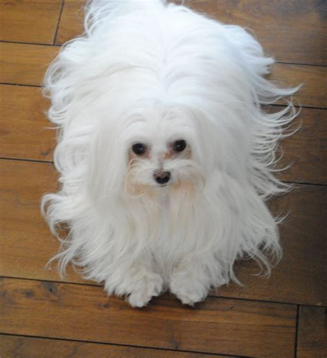 maltese grooming styles with long and short hair everything you need to know about the maltese rover blog