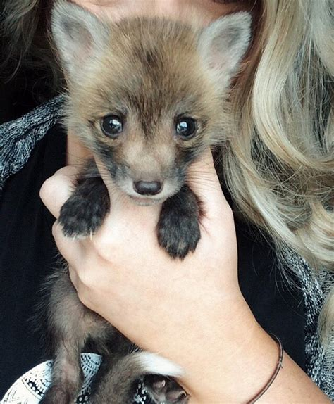 meet juniper the pet fox who s basically an orange dog bored panda